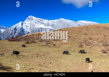 Panoramic view of the Jade Dragon Snow Mountain in Yunnan, China with some yaks on foreground - Stock Photo