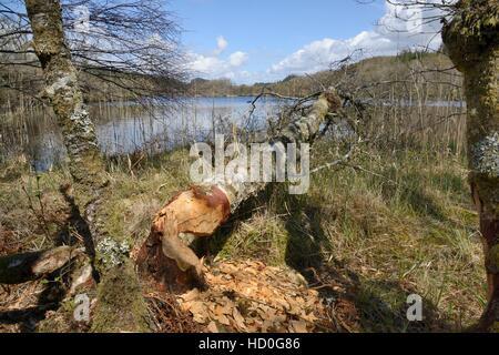 Downy birch (Betula pubescens) felled by Eurasian beavers (Castor fiber) from the Scottish Beaver Trial, Knapdale, - Stock Photo