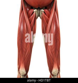 Sartorius muscle anatomy