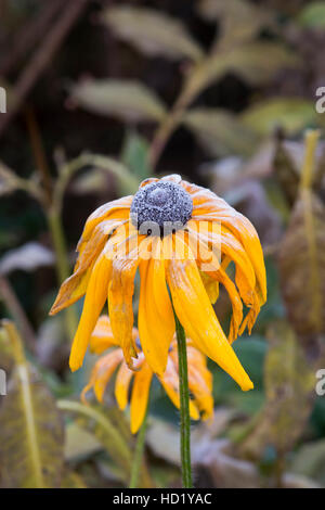 Rudbeckia flower covered in an autumn frost - Stock Photo