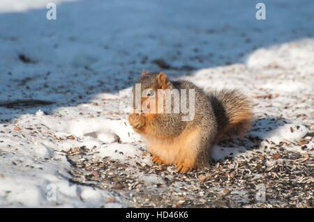 Fox squirrel sitting up on ice-covered ground