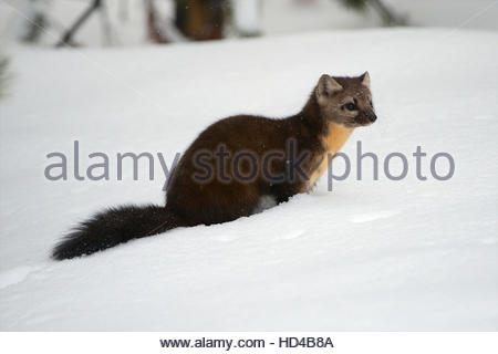 A pine marten sits in the snow pondering its next move. - Stock Photo