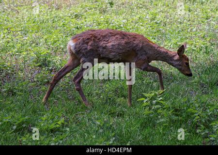 Roe deer in Bialowieza National Park as a part of Belovezhskaya Pushcha National Park in Poland. - Stock Photo