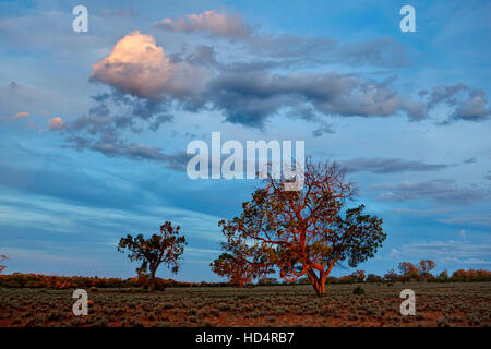 Last rays of light falling on trees in semi-arid Australian outback country - Stock Photo