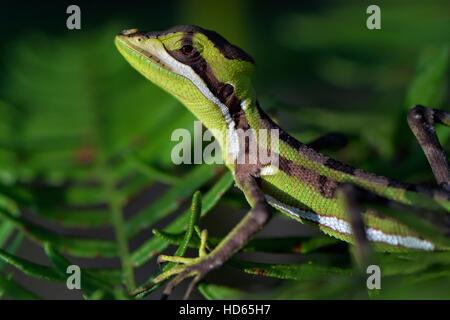 Brown Basilik (Basiliscus vittatus), immature, Corozal District, Belize, - Stock Photo