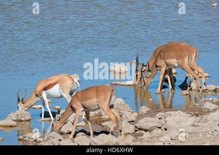 Four black-faced impalas (Aepyceros melampus petersi) and one springbok (Antidorcas marsupialis), drinking, Etosha - Stock Photo