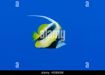 pennant coralfish, longfin bannerfish, reef bannerfish or coachman (Heniochus acuminatus) floating on a background - Stock Photo