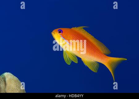 Female sea goldie,  lyretail coralfish, lyretail anthias or scalefin anthias (Pseudanthias squamipinnis) on the - Stock Photo