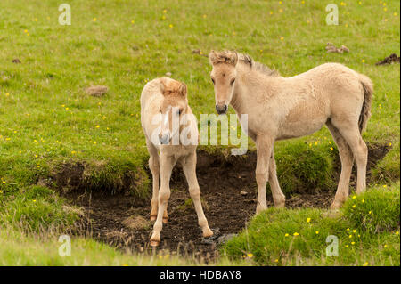 Two young Icelandic horses (Equus ferus caballus) - foal and filly - in a meadow in South Iceland. - Stock Photo