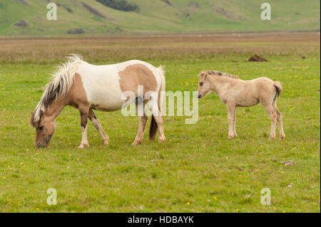 Icelandic horses (Equus ferus caballus), a mare and a foal, pasturing in a green meadow in South Iceland. - Stock Photo
