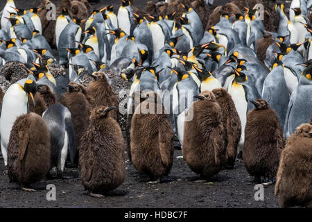king penguin (Aptenodytes patagonicus) showing adults and juveniles in breeding colony, Falklands Islands - Stock Photo