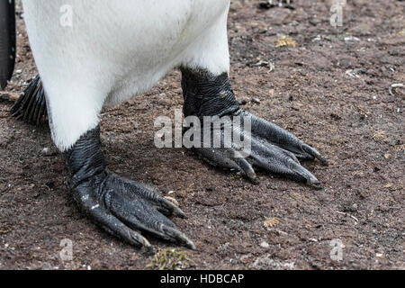 king penguin (Aptenodytes patagonicus) close up of adult's feet, Falkland Islands - Stock Photo