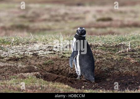 Magellanic penguin (Spheniscus magellanicus) adult in breeding colony standing near nest burrow in peat, Falkland - Stock Photo