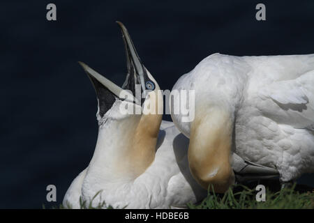 A Gannet (Morus bassanus) yawning with it  partner standing next to it preening. - Stock Photo