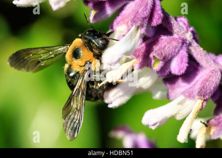 A larger bumble bee sitting on some backyard flowers. - Stock Photo