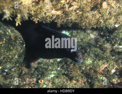 Black moray, Muraena augusti.  Head detail. Azores, Portugal - Stock Photo