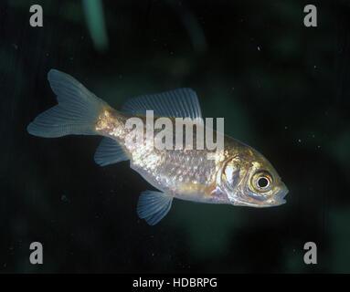 Goldfish, Carassius auratus. Young animal. Portugal. - Stock Photo