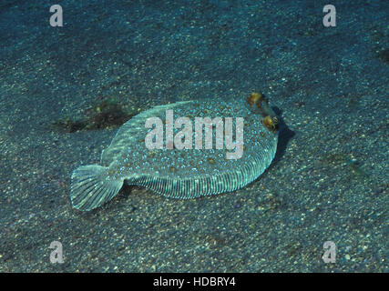 Wide-eyed flounder, Bothus podas maderensis. Azores, Portugal - Stock Photo