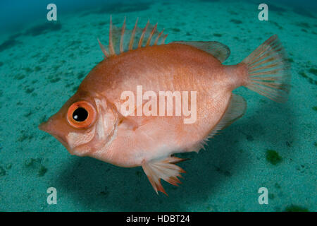Boarfish, Capros aper. Lateral view. Portugal. - Stock Photo