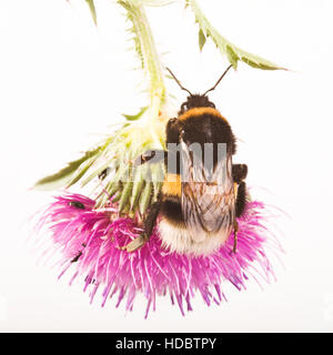 Buff-tailed Bumblebee or Large Earth Bumblebee (Bombus terrestris) on a thistle - Stock Photo