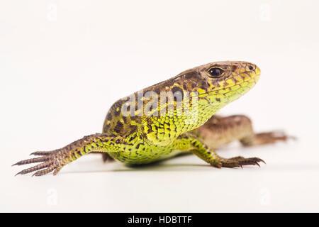 Female Sand Lizard (Lacerta agilis) - Stock Photo