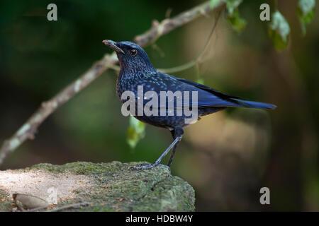 Blue whistling thrush (Myophonus caeruleus) standing on stone, Mae Wong National Park, Kamphaeng Phet Historical - Stock Photo