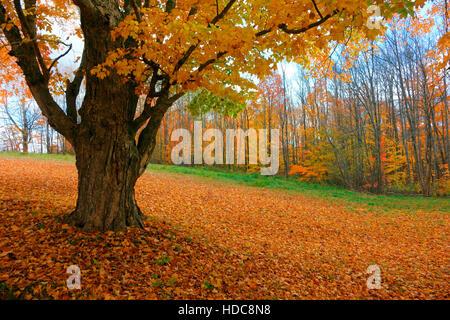 A sugar maple tree in autumn foliage in Nova Scotia, Canada - Stock Photo