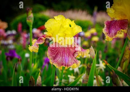 Beautiful bearded iris flower blooming in the garden. - Stock Photo