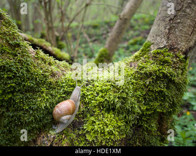 Helix pomatia on a mossy tree stump in spring - Stock Photo