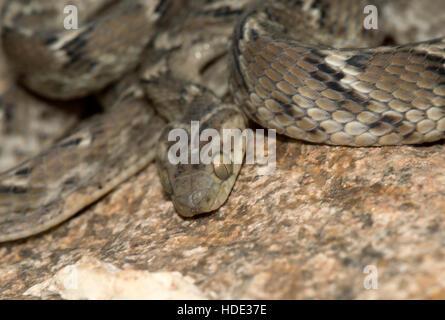 The image of Common cat Snake (  Boiga trigonata) in Hampi, Karnatka, India - Stock Photo