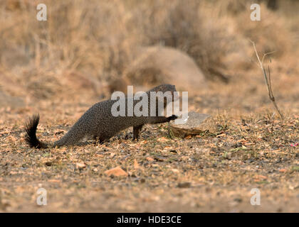 The image of Ruddy Mongoose (  Herpestes smithii) in Daroji Bear sanctuary, India - Stock Photo