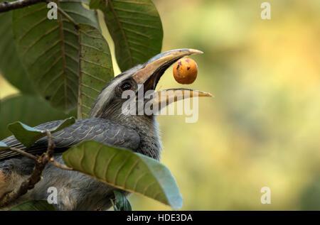 The image of Malabar Grey Hornbill (  Ocyceros griseus) was taken in Dandeli wildlife sanctuary, Karnatka, India - Stock Photo