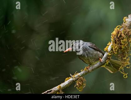 The image of Indian blackbird (Turdus simillimus) in Dandeli wildlife sanctuary, Karnatka, India - Stock Photo