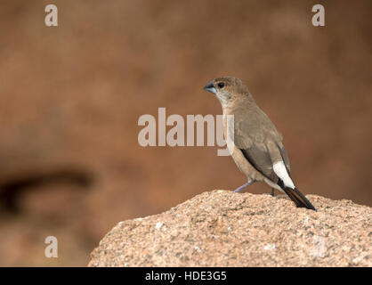 The image of  Silverbill or white-throated munia (Euodice malabarica) in Daroji wildlife sanctuary, Karnatka, India - Stock Photo