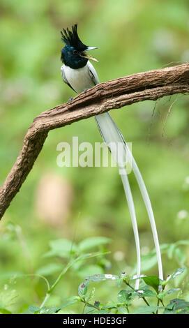 The image of  Paradise flycatcher (Terpsiphone paradisi)in Dandeli wildlife sanctuary, Karnatka, India - Stock Photo