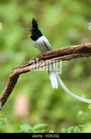 The image of  Paradise flycatcher (Terpsiphone paradisi) adult male in Dandeli wildlife sanctuary, Karnatka, India - Stock Photo