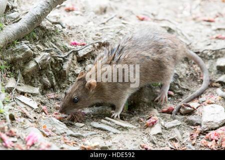 Wild Brown Rat - Rattus norvegicus - Stock Photo