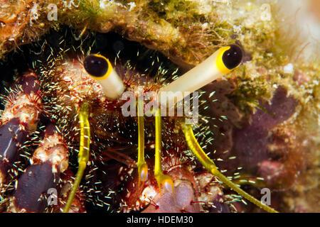 UNderwater macro photography. HErmit crab eyes. - Stock Photo