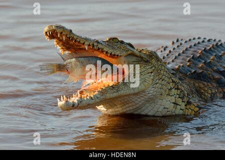 Nile crocodile (Crocodylus niloticus) with fish still alive in its mouth, Sunset Dam, Kruger National Park, South - Stock Photo