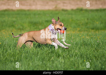 American Staffordshire Terrier playing with a red ball on a sunny spring day - Stock Photo