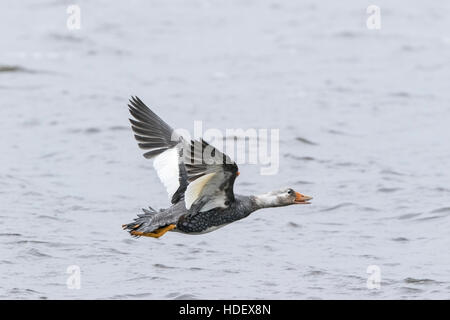 Falklands flying steamer duck (Tachyeres patachonicus) adult male flying over water, Falkland Islands - Stock Photo