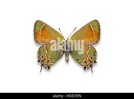 A pinned and spread cutout Siva Juniper Hairstreak butterfly (Callophrys gryneus siva) on a white background