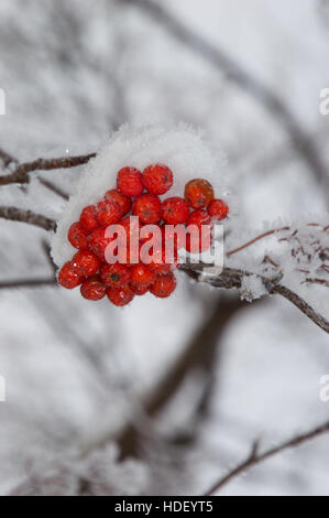 Close up of snow covered orange mountain ash berries on a branch that shows individual snowflakes against a blurred - Stock Photo