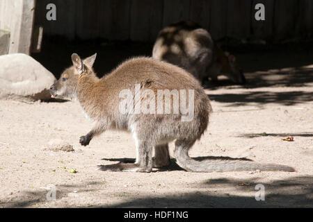Red-necked Wallaby, Macropus rufogriseus, Korkeasaari zoo Helsinki - Stock Photo