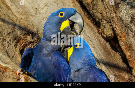 Hyacinth macaws before their breeding cave in the Pantanal in Brazil - Stock Photo
