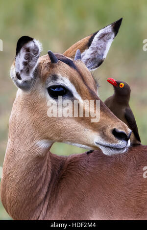 Impala eye to eye with a oxpecker in South Africa - Stock Photo