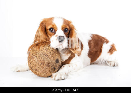 Can dogs eat fruit illustration. Tropical fruit and cavalier king charles spaniel dog. Dog with fruit food. Dog - Stock Photo