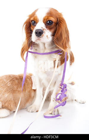 Happy new year! Illustrate your work with king charles spaniel New year dog illustration. Dog celebrate New year's - Stock Photo