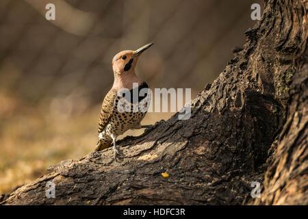 Male Northern Flicker. - Stock Photo