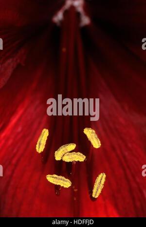 Macro of a red Amaryllis flower - Stock Photo